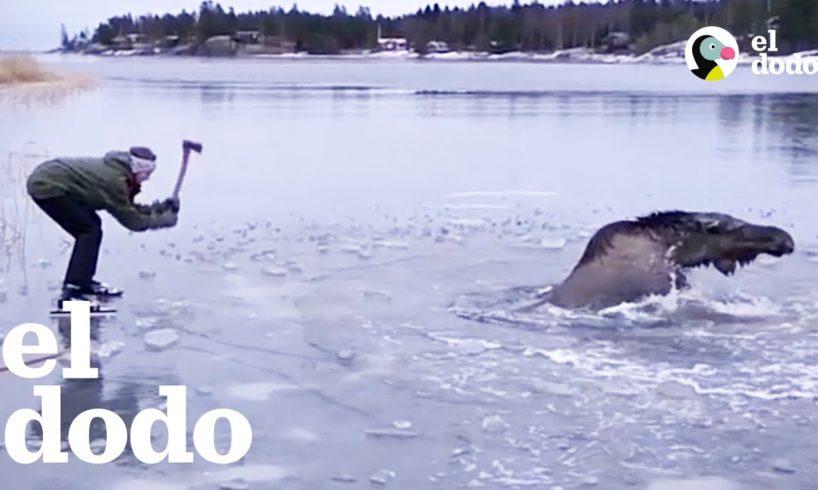 Personas valientes rescatan a un alce atrapado en el hielo