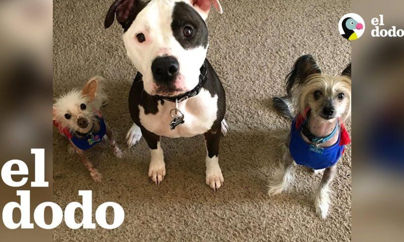 Pit bull AMA a sus nuevos hermanitos