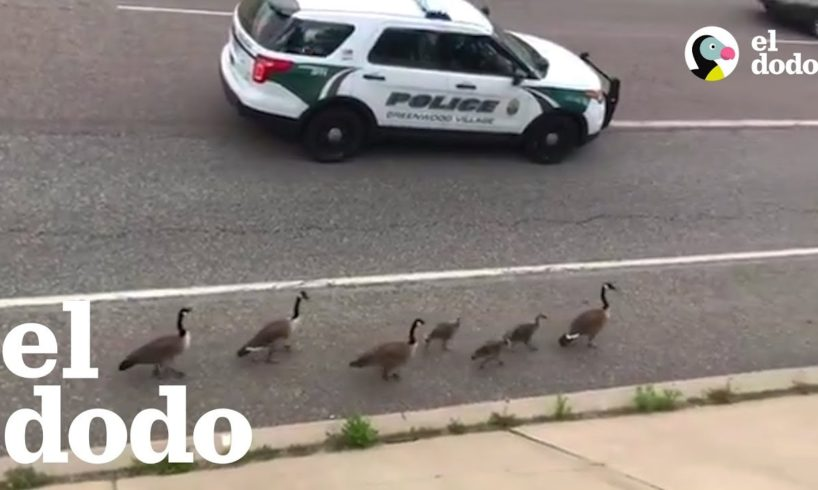 Policía acompaña a una familia de gansos por la ruta