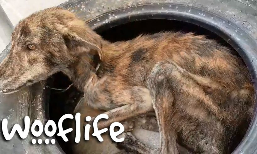 Stray Dog With Only Bones Miracle Transformation | Dog Rescue Stories
