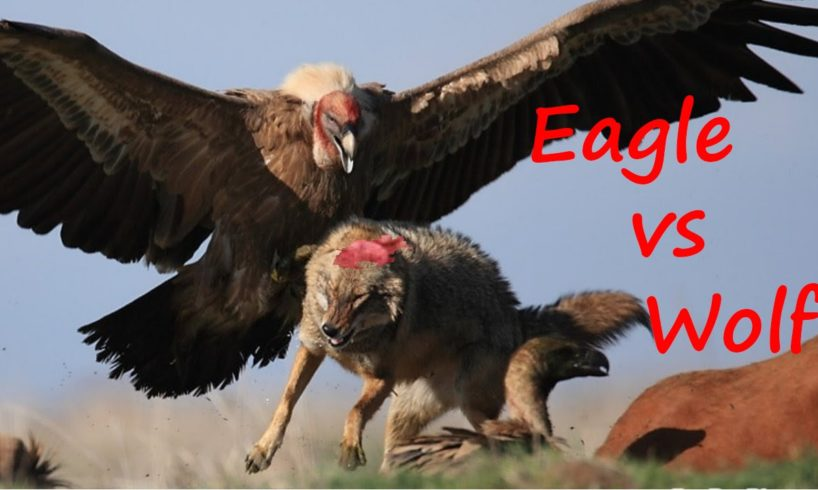 The Best Animal Fights 2016 - Eagle vs Wolf - Animal Wild Fights