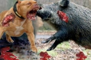 Top Craziest Animal Fights Caught On Camera - CRAZY Wild Boar,Giant Anaconda,Crocodile,Rhino – kent