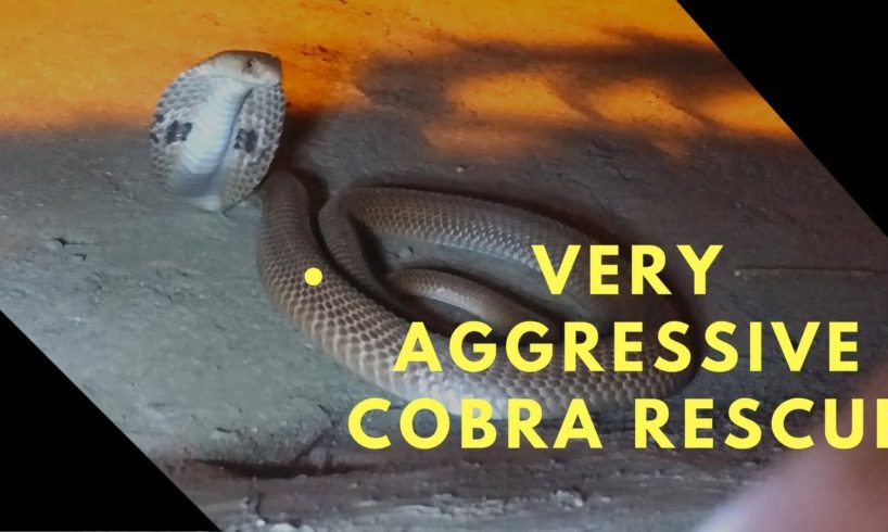 Very Angry Cobra Rescue by our team | Snake Rescue | Animal Rescue India | Gopro