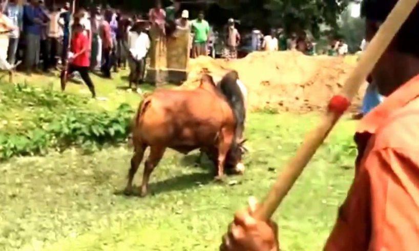 Very very Dangerous Bulls Fight video: Best animal fights viral videos 2016 HD