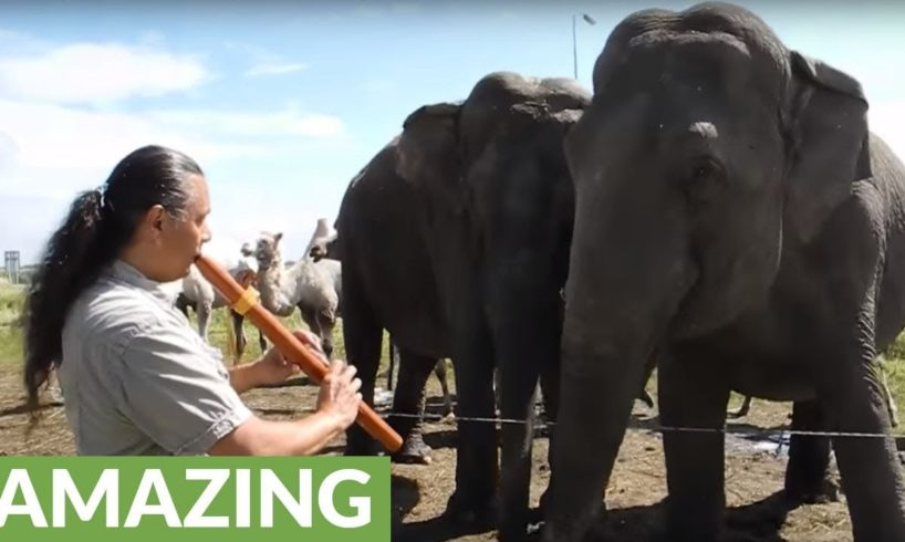 When he plays his Native flute, this elephant starts dancing!