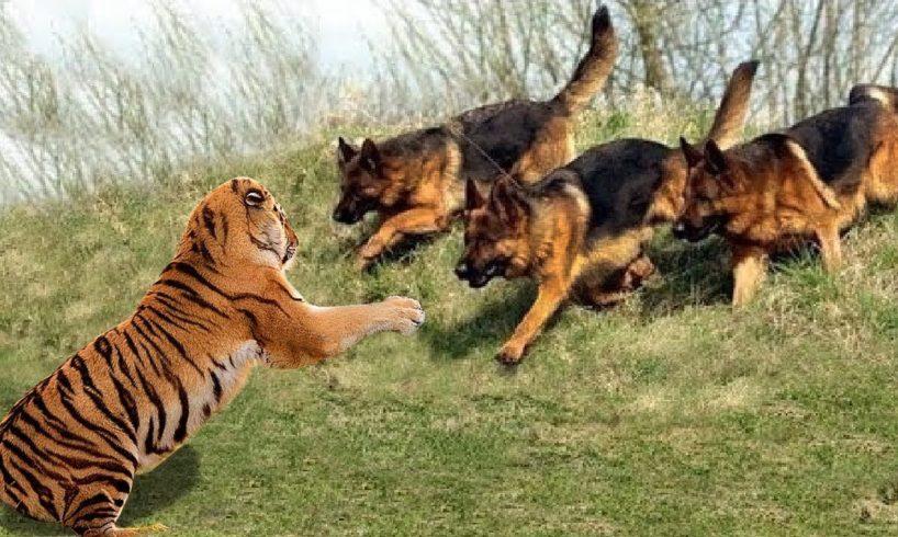 Wild Animals Fights Powerful Tiger vs Big Warthog, Wild Dogs vs Wildebeest Cheetah Buffalo