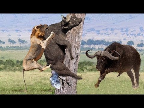 Wild animal 2018 || Lion vs Buffalo vs Wild dogs - two bear fights each other