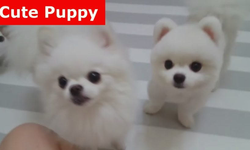 ♥Cute Puppies - Cute Puppy♥ Cutest Pomeranian Puppy Compilation Ever