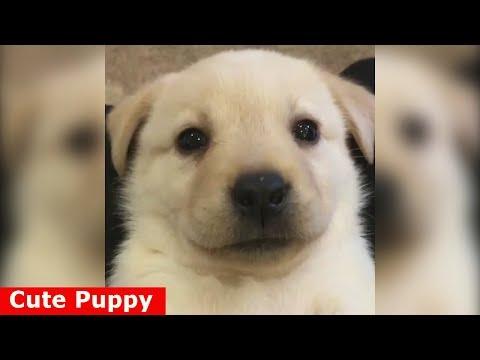 ♥Cute Puppies - Cute Puppy♥ Funniest Labrador Retriever Puppies Compilation Ever