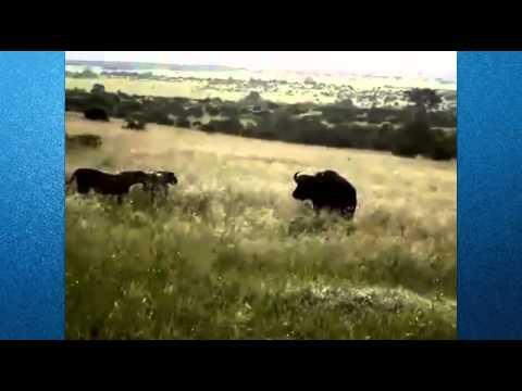 Amazing Lion Attack  Animal Fights,  Animal Attacks