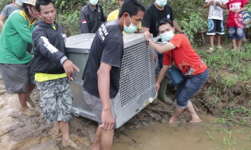 Amazing release of three orangutans by International Animal Rescue