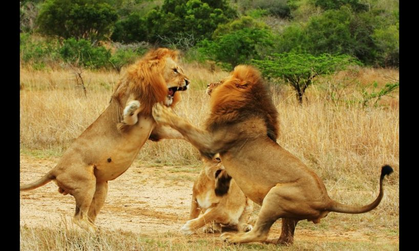 Animal Fights HD  2016