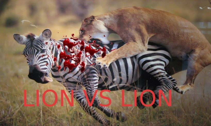 Animal Fights: Lion vs Lion - Amazing Fight To Death