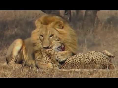 Animal Fights - Lions attack cheetah and crocodile