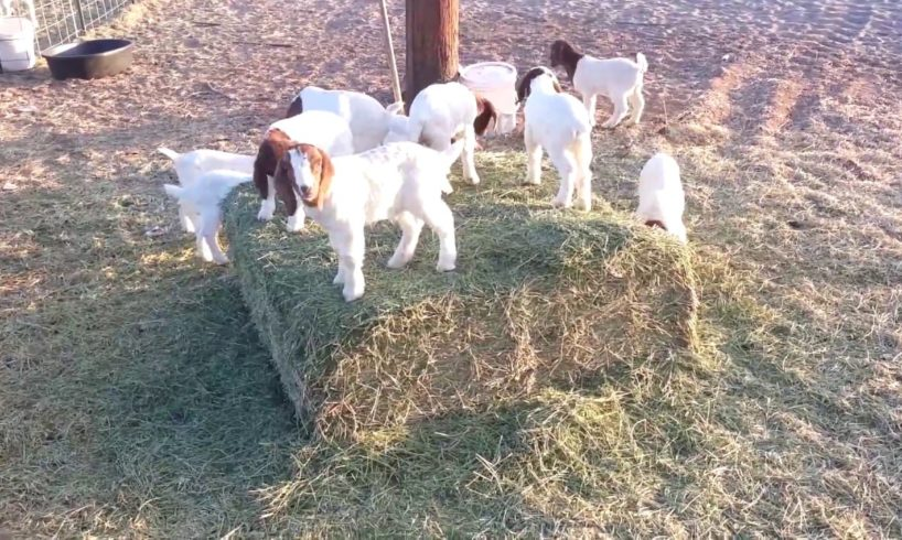 Baby Goats Playing, Jumping and Running #animals #goats #babygoats