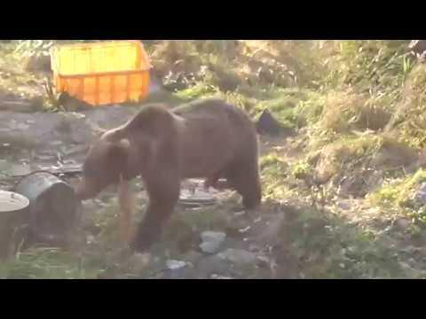 Bears vs Dogs Animal Fights in Siberia