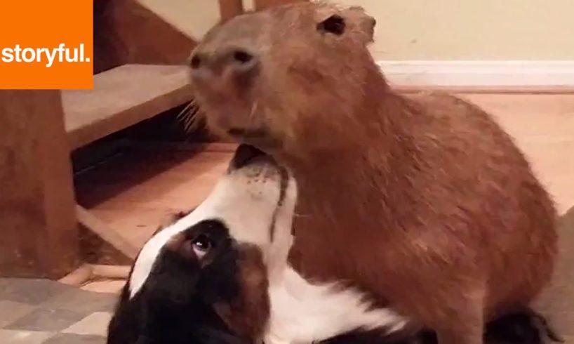 Big Capybara Plays With Border Collie Friend (Storyful, Wild Animals)