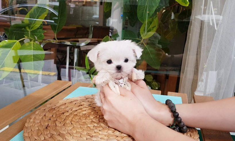 Big eyes maltese mini maltese videos lovely and cutest puppies - Teacup puppies KimsKennelUS