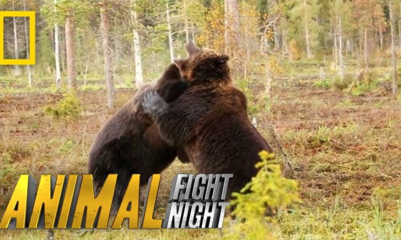Brown Bear Battle: It's On! | Animal Fight Night