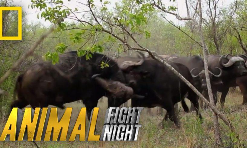 Buffalo Brawl | Animal Fight Night