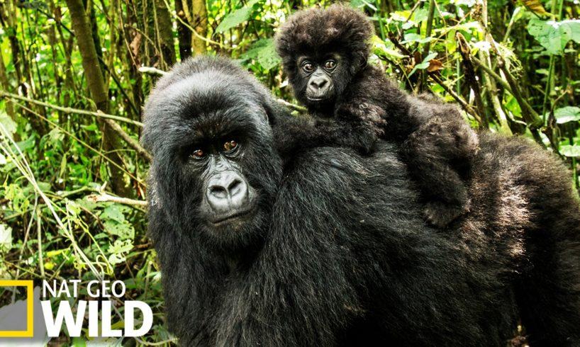 Combat de gorilles - Animal Fight Club