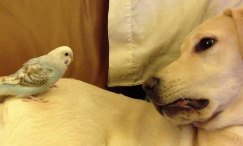 Cute Animals - Budgie and Dog playing