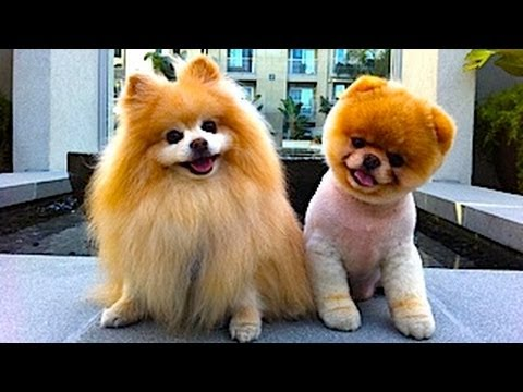 Cute Baby Pomeranian - Cutest Puppies In The World