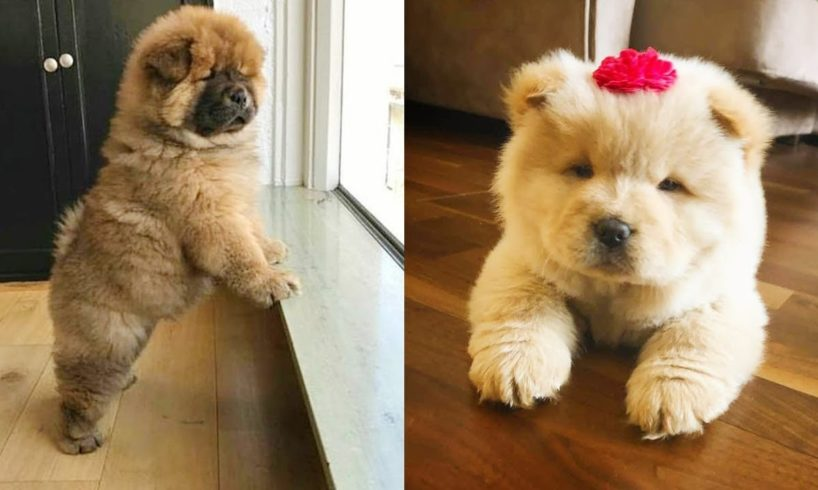 Cute Chow Chow Puppies and Dogs Video Compilation