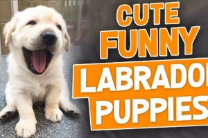 Cute Labrador Puppies Doing Funny Things Videos Compilation 2018