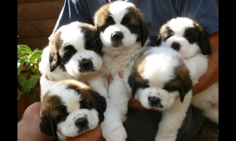 Cute St Bernard Puppies Compilation - Cutest Puppies Ever!