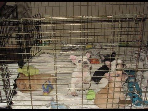 Cutest Puppies Ever French Bulldogs - www.allstarfrenchbulldogs.com