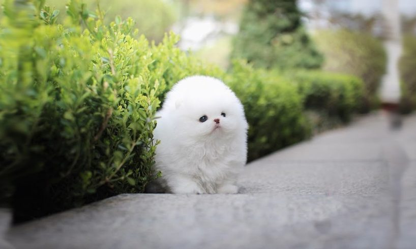Cutest Teacup Dogs Video Compilation - Cute Puppies Ever