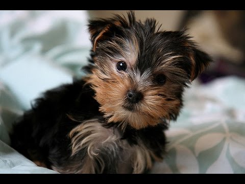 Cutest Yorkies Puppies  - A Funny Dogs Videos Compilation 2017