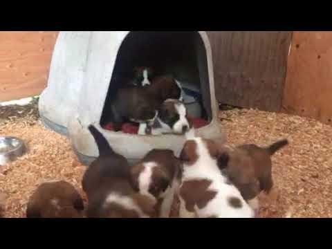 Cutest puppies ever. St Bernard x pups