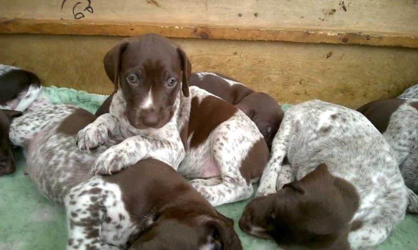 Cutest puppies in the world!!! Cute puppies, 5 week old gsp pups