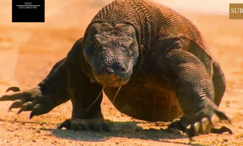 Deadly Animal Fights-Komodo Dragon-CRAZIEST Animal Fights Caught On Camera