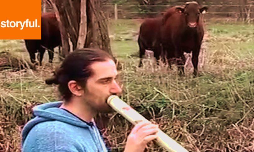 Didgeridoo Player Herds Field Of Cows (Storyful, Wild Animals)