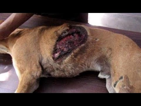 Dog suffocating from collapsed lungs and gaping wound healed - Animals Rescued  Ep 4