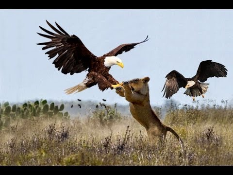 Eagle Best Attacks 2018 - Most Amazing Moments Of Wild Animal Fights! Wild Discovery Animals