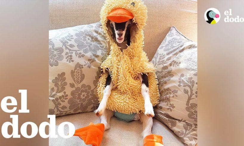 Esta mujer dedica su vida a salvar cabras | El Dodo