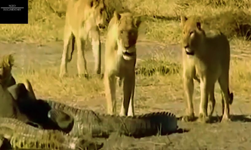 Extreme Animal Fights to The Death- Lion vs Giant Crocodile Real Fight