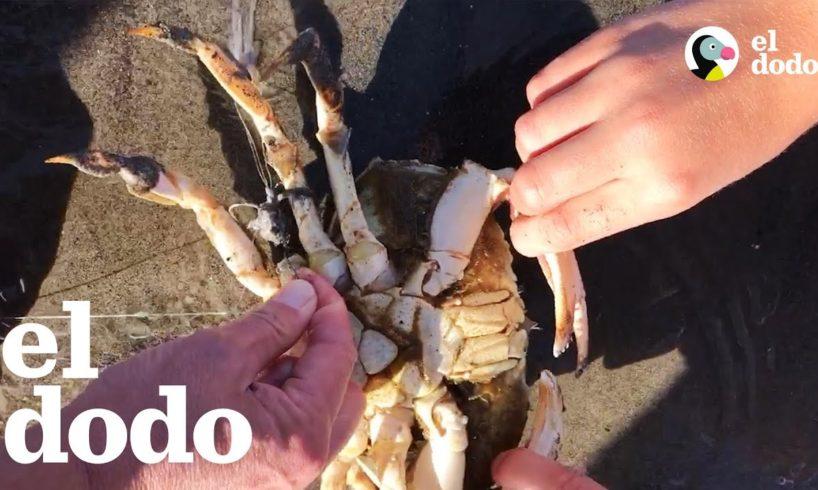 Familia salva un cangrejo enganchado en un anzuelo | El Dodo