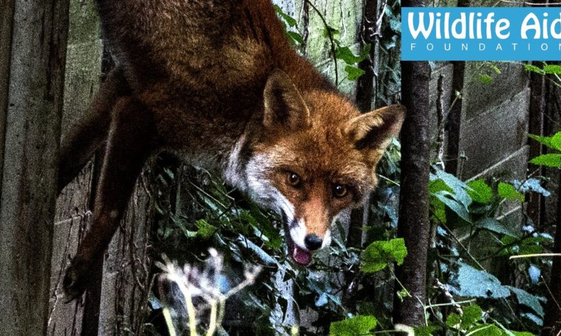 Fox dangling from its tail - Wildlife Animal Rescue