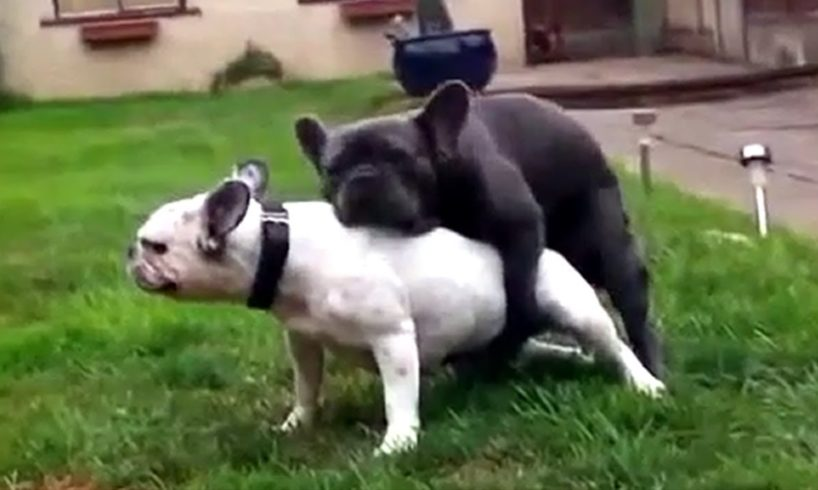 French bulldog playing , giving birth to cute puppies