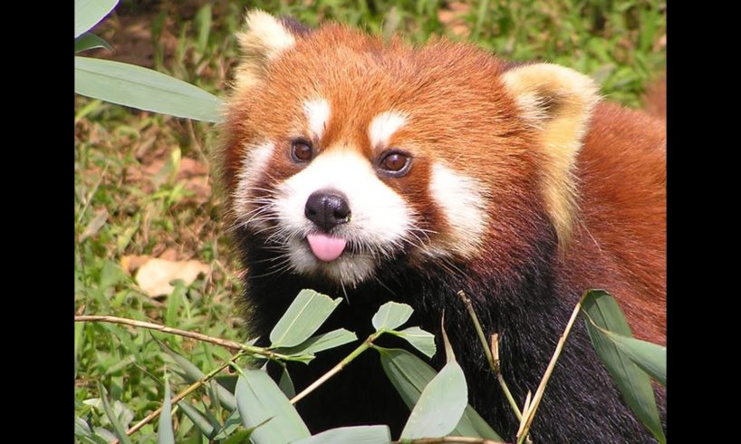 Funny red panda compilation - cute animals and pets for everybody!