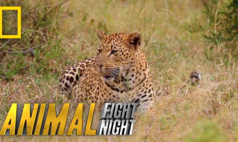 Fur is Going to Fly | Animal Fight Night