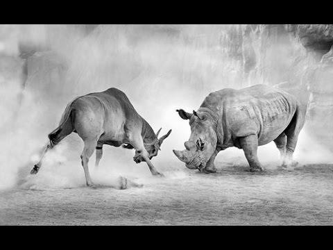 HD Wild Animal Fights  In HD