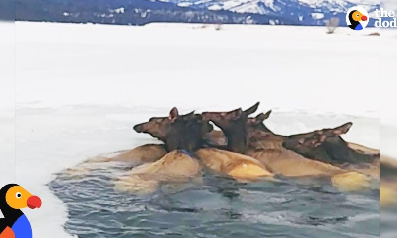 Herd of Elk Rescued After Falling Through Ice | The Dodo