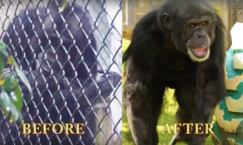 Joe the Chimpanzee's Epic Rescue | PETA Animal Rescues