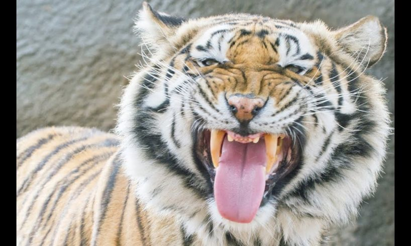 LIVE: 40 Tigers Rescued from Zoo Examined at Wild Animal Sanctuary   The Dodo LIVE